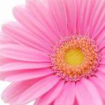 あきらの胸がときめくものピンクのガーベラ