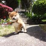 吉澤タカシが好きな柴犬