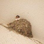 一羽だけ巣立ちできないツバメの雛のようす