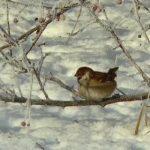 雪の積もる枝にとまる雀の様子